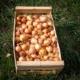 oignons-jaunes-bio-auvergne