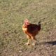 poulet fermier bio auvergne