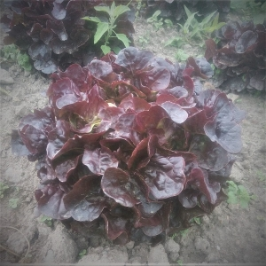 feuille-chene-rouge
